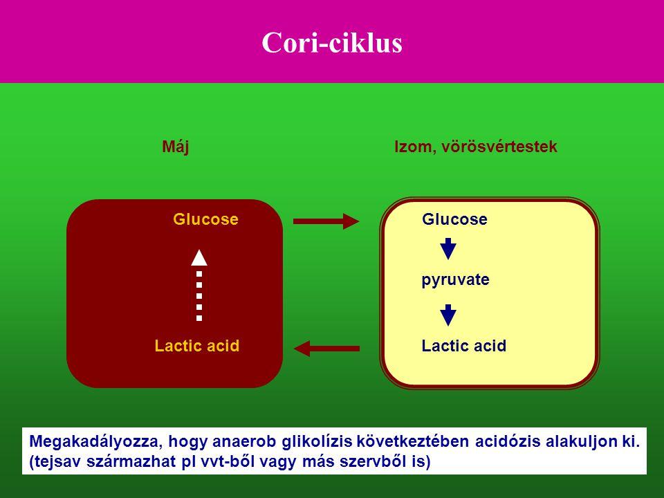 Cori-ciklus Máj Izom, vörösvértestek Glucose Glucose pyruvate