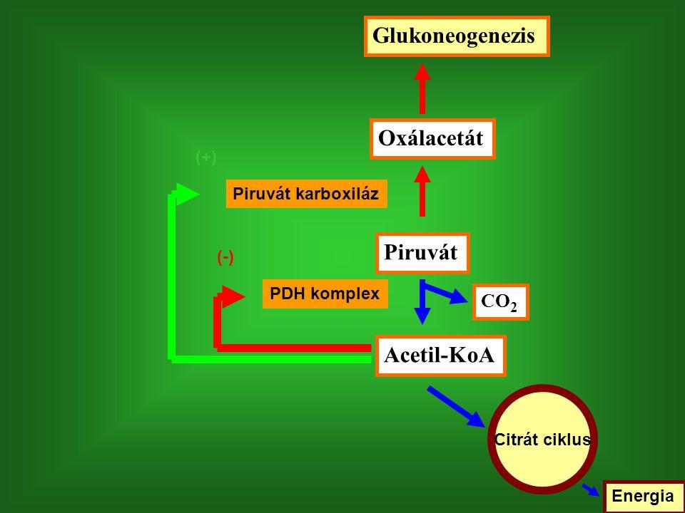 Glukoneogenezis Oxálacetát Piruvát Acetil-KoA CO2 (+)