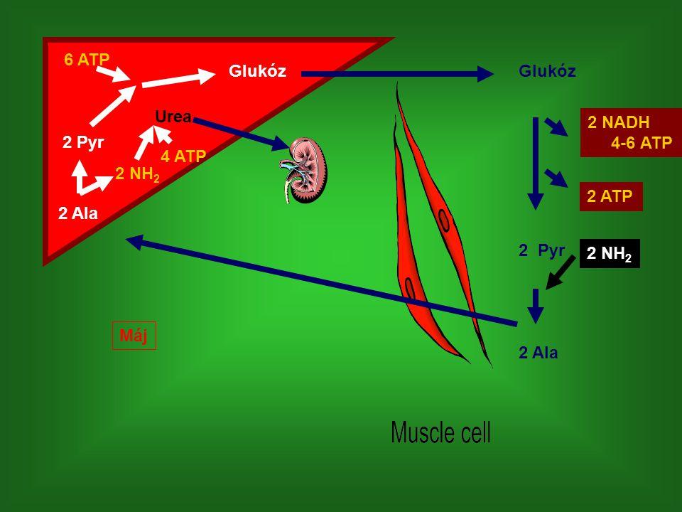 6 ATP Glukóz Glukóz Urea 2 NADH 4-6 ATP 2 Pyr 4 ATP 2 NH2 2 ATP 2 Ala 2 Pyr 2 NH2 Máj 2 Ala