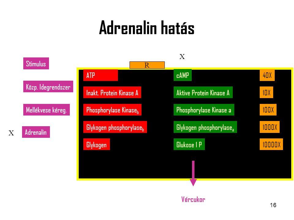 Adrenalin hatás X Stimulus R ATP cAMP 40X Közp. Idegrendszer