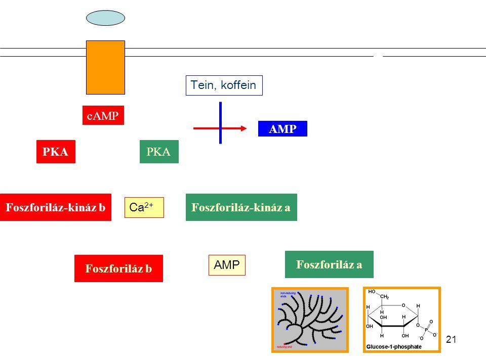 Tein, koffein cAMP. AMP. PKA. PKA. Foszforiláz-kináz b. Foszforiláz-kináz a. Ca2+ Foszforiláz a.