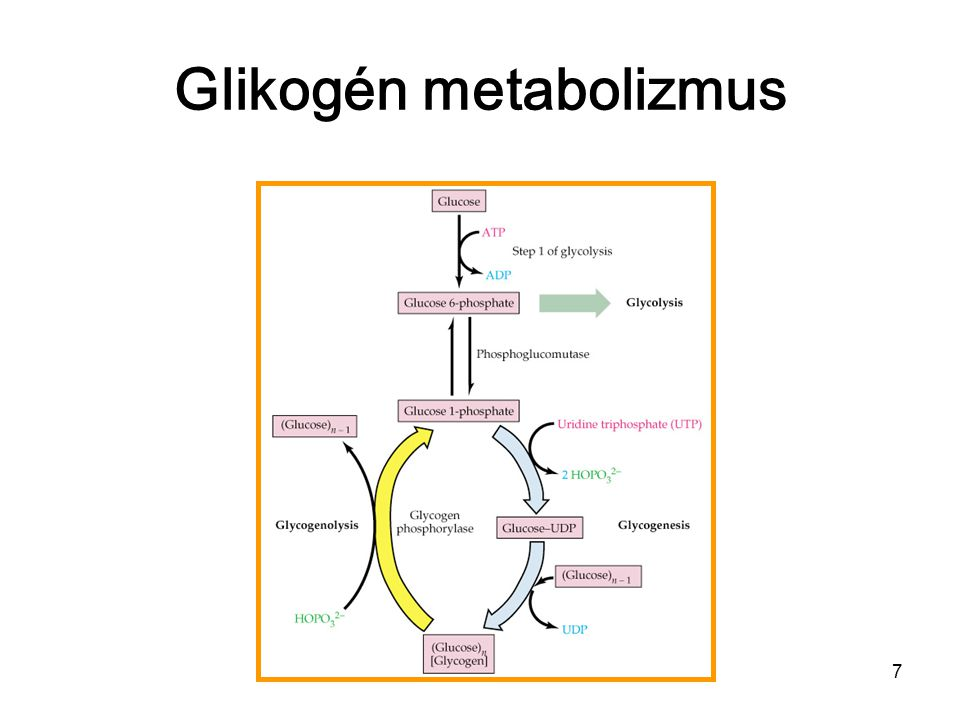 Glikogén metabolizmus