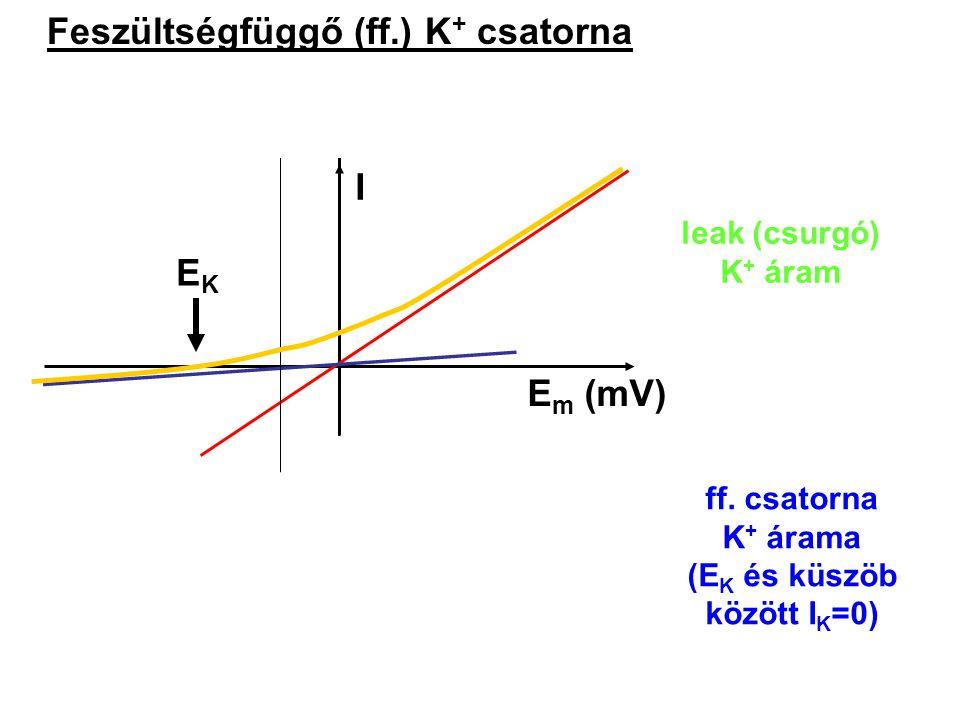 Feszültségfüggő (ff.) K+ csatorna