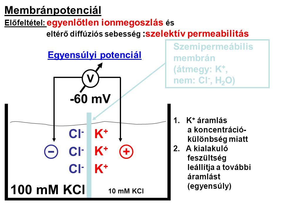 100 mM KCl -60 mV Cl- K+ Cl- K+ + Cl- K+ Membránpotenciál V