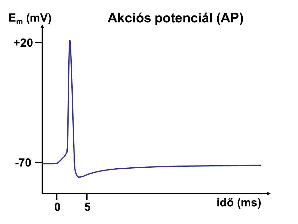 Akciós potenciál (AP) Em (mV) +20 -70 idő (ms) 5