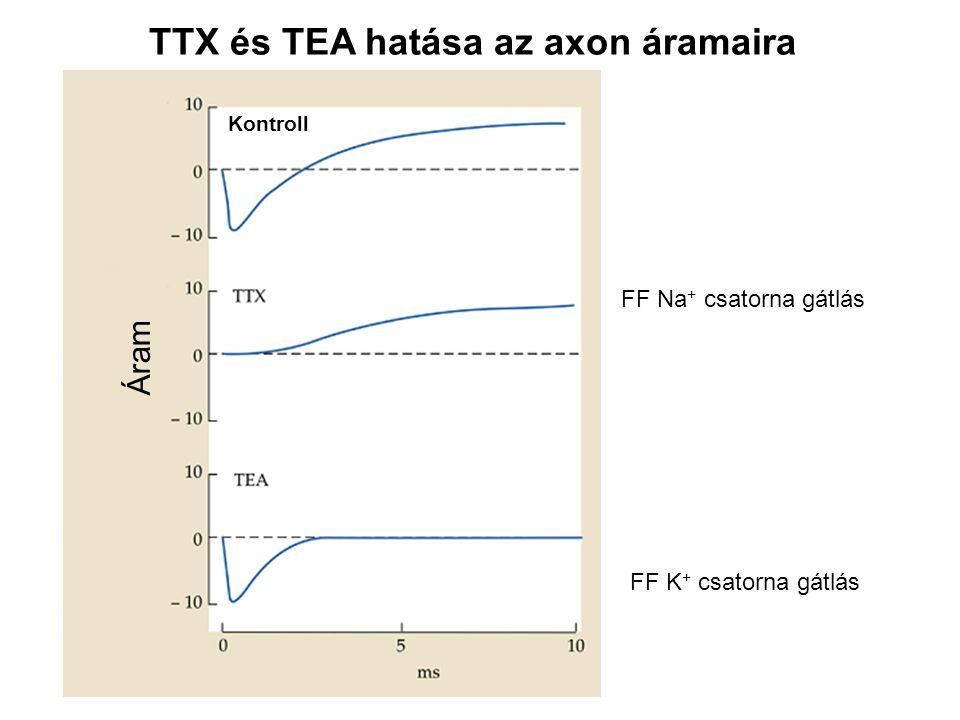 TTX és TEA hatása az axon áramaira