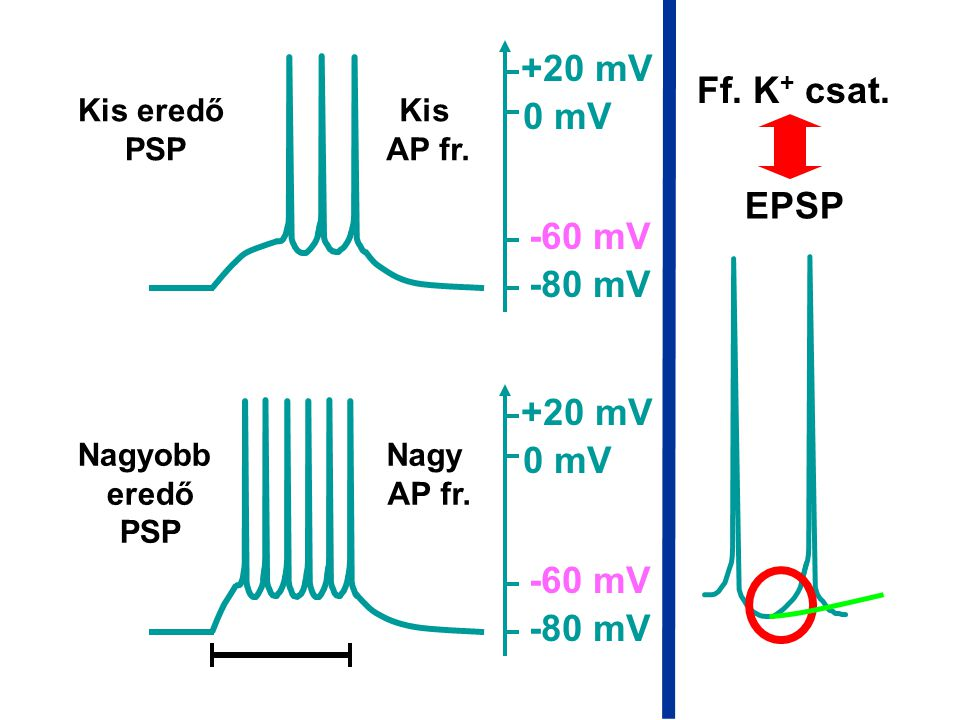 +20 mV Ff. K+ csat. 0 mV EPSP -60 mV -80 mV +20 mV 0 mV -60 mV -80 mV