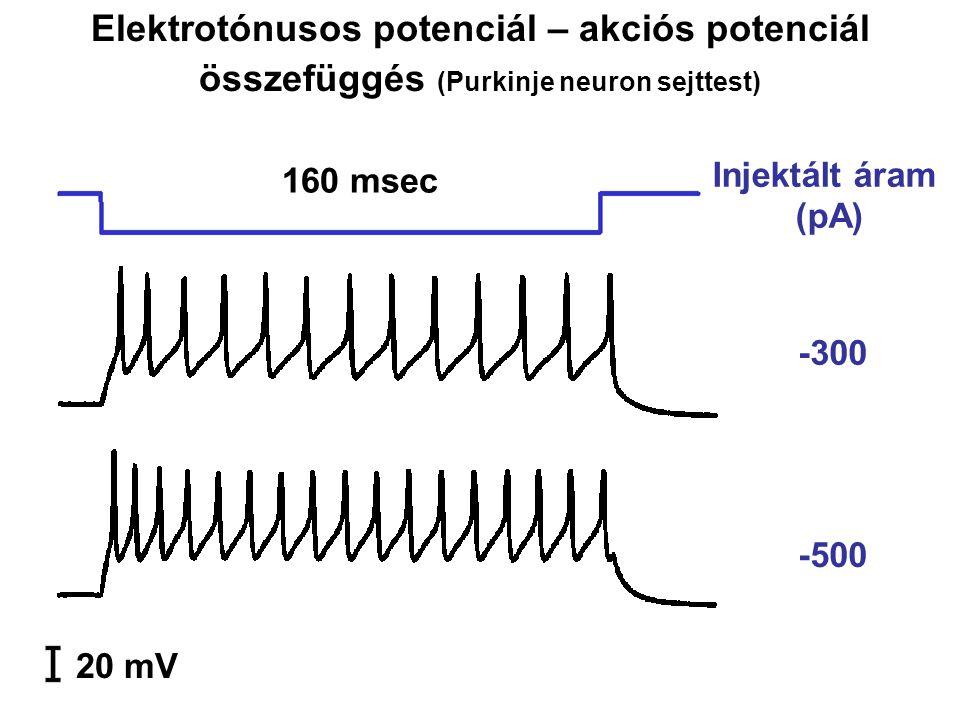 Elektrotónusos potenciál – akciós potenciál összefüggés (Purkinje neuron sejttest)