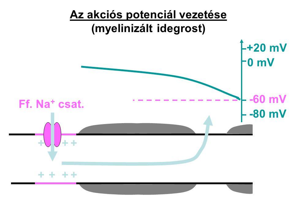 Az akciós potenciál vezetése (myelinizált idegrost)
