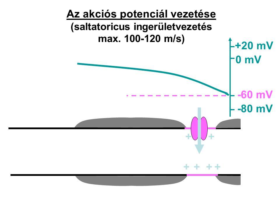Az akciós potenciál vezetése (saltatoricus ingerületvezetés