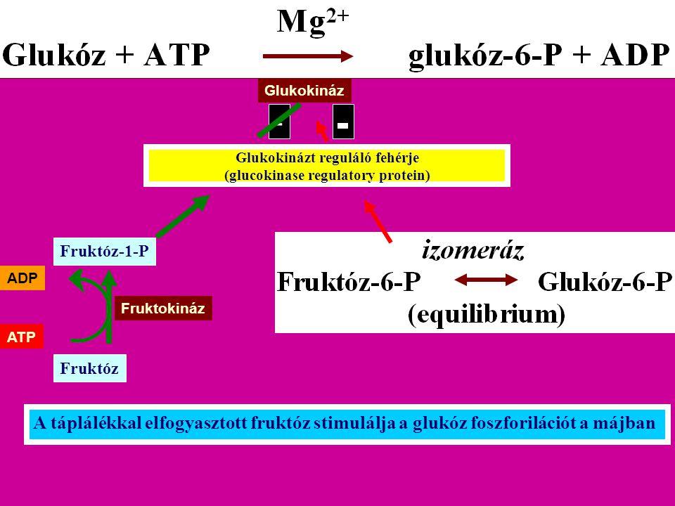 Glukokinázt reguláló fehérje (glucokinase regulatory protein)