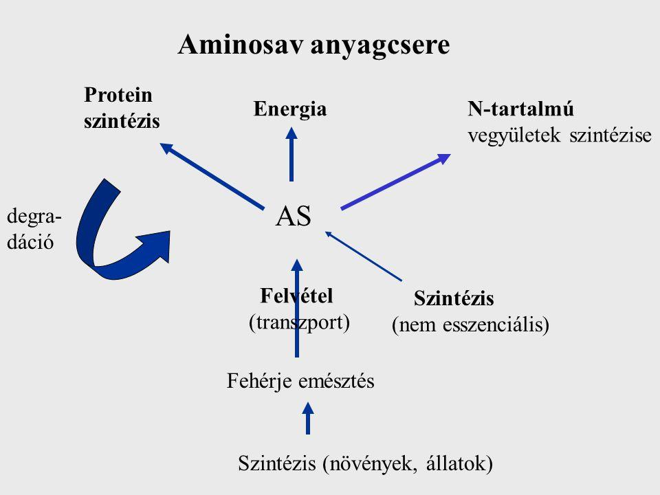 Aminosav anyagcsere AS Protein szintézis Energia N-tartalmú