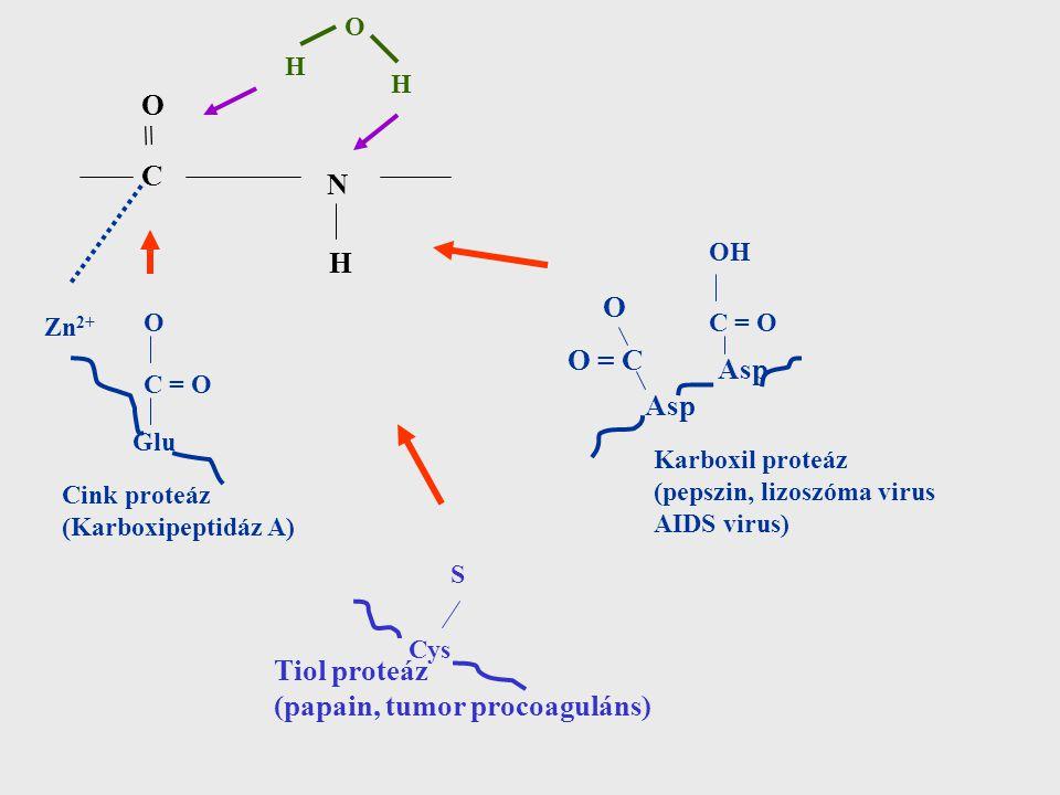 = O C N H O O = C Asp Asp Tiol proteáz (papain, tumor procoaguláns) O