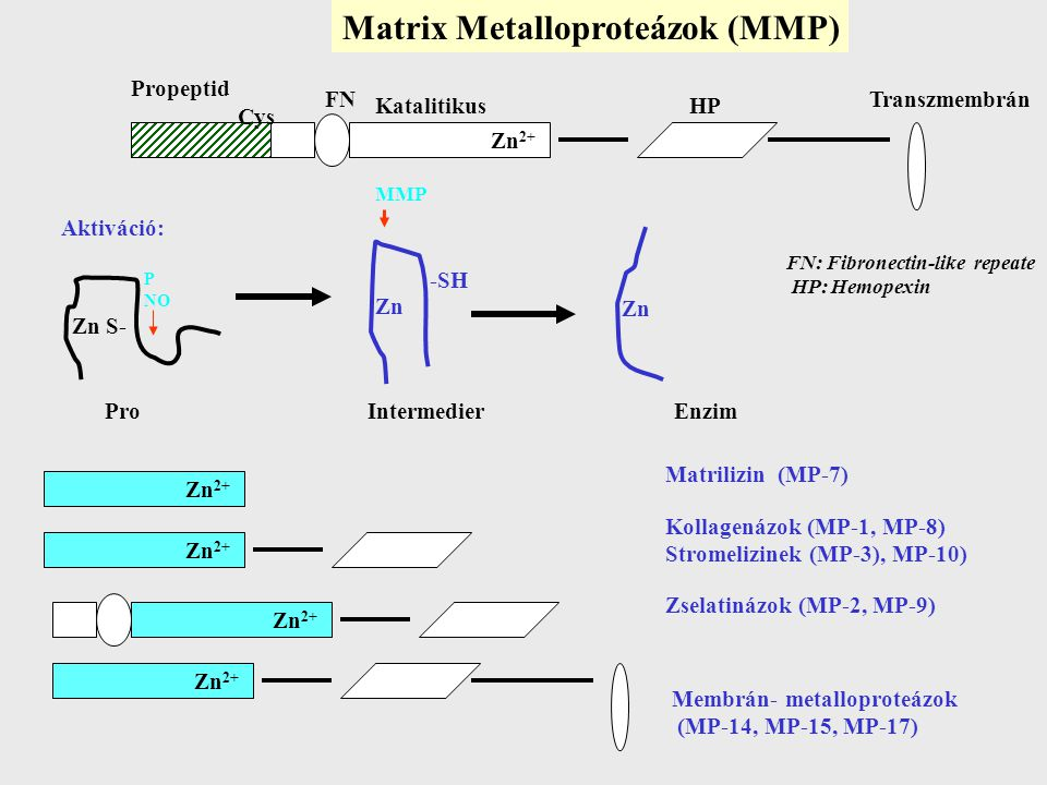 Matrix Metalloproteázok (MMP)