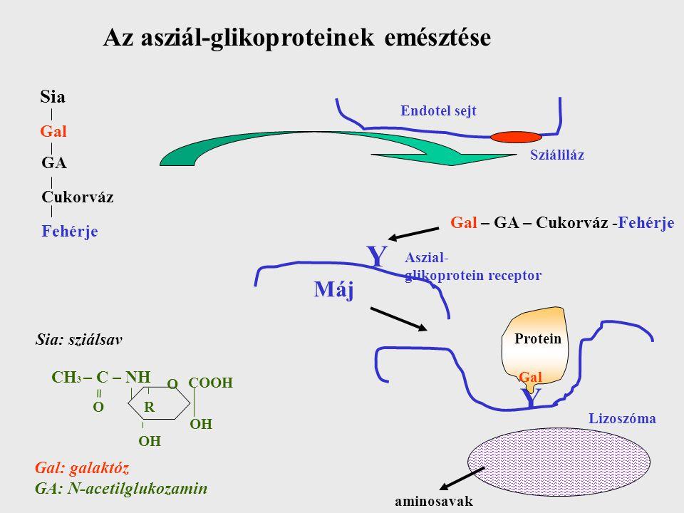 Y Y Az asziál-glikoproteinek emésztése Máj Sia Gal GA Cukorváz