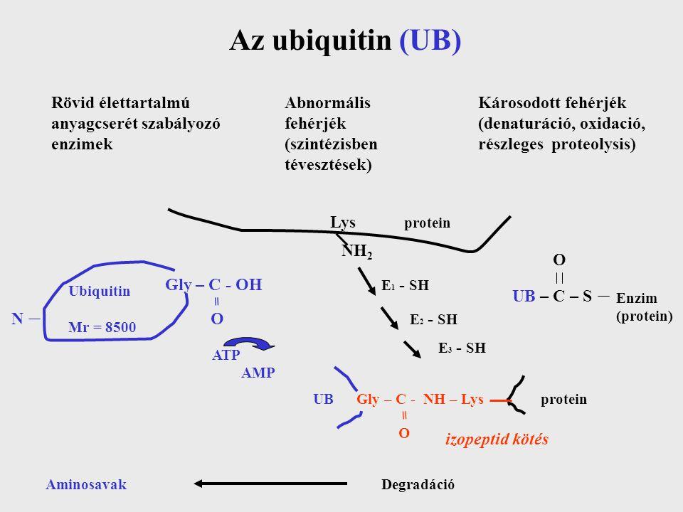 Az ubiquitin (UB) Rövid élettartalmú anyagcserét szabályozó enzimek