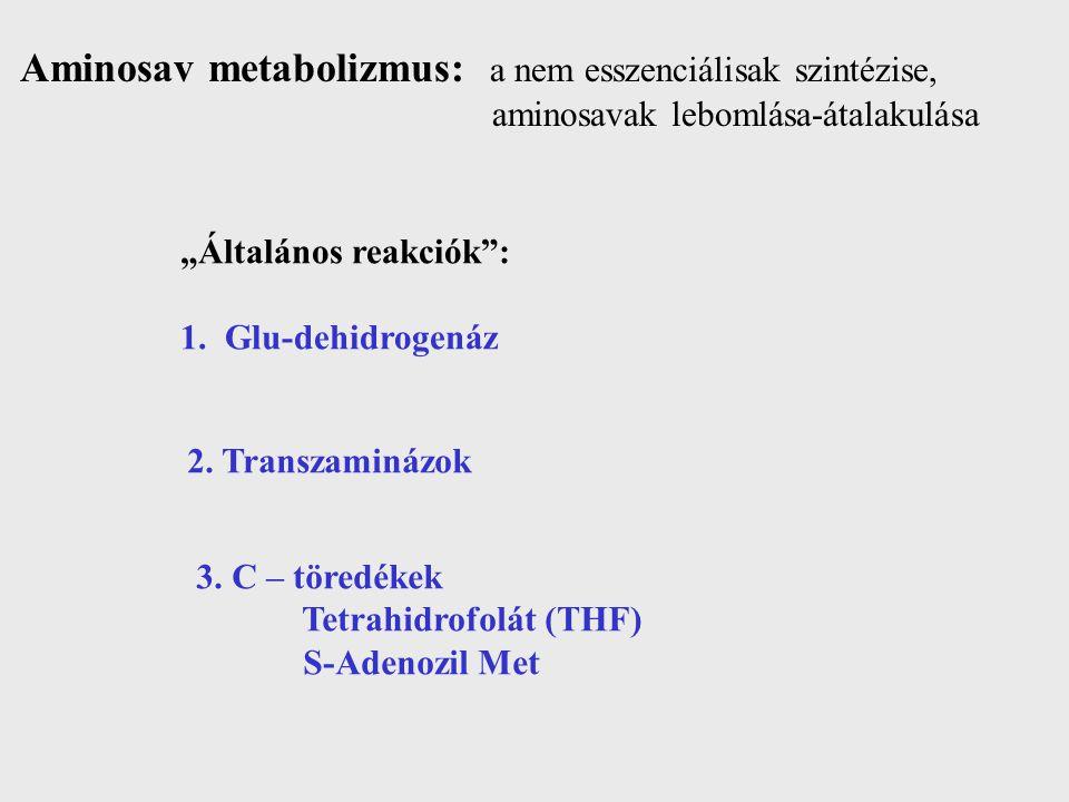 Aminosav metabolizmus: a nem esszenciálisak szintézise,