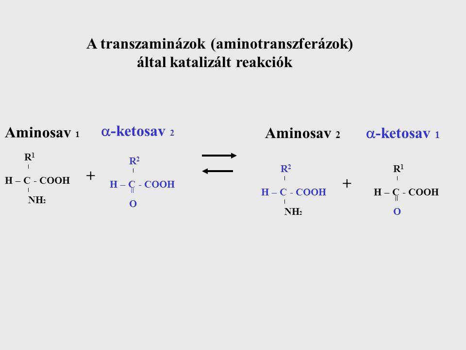 A transzaminázok (aminotranszferázok) által katalizált reakciók
