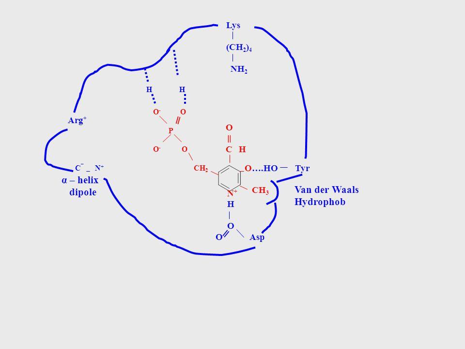 ═ ═ α – helix dipole Van der Waals Hydrophob ═ Lys (CH2)4 NH2 Arg+ O
