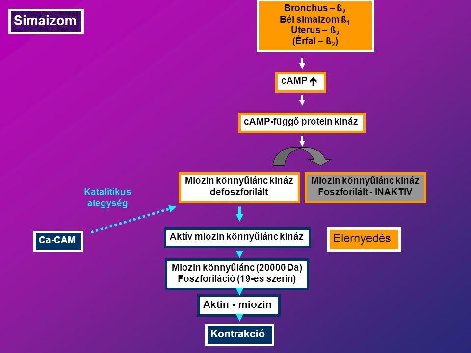 Simaizom Elernyedés Aktin - miozin Kontrakció Bronchus – ß2
