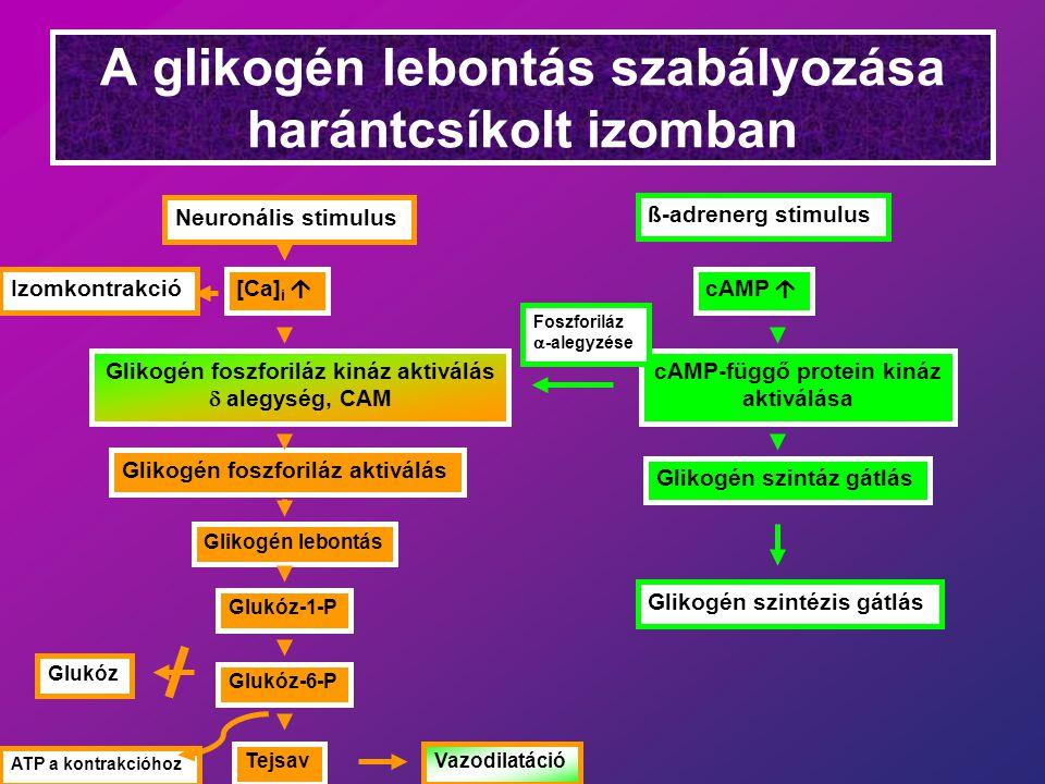 A glikogén lebontás szabályozása harántcsíkolt izomban