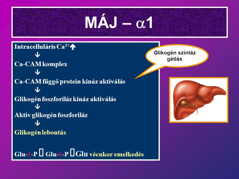 MÁJ – a1 Intracelluláris Ca2+é â Ca-CAM komplex