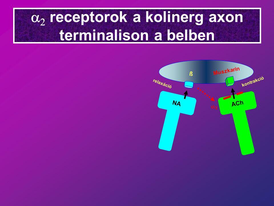 a2 receptorok a kolinerg axon terminalison a belben