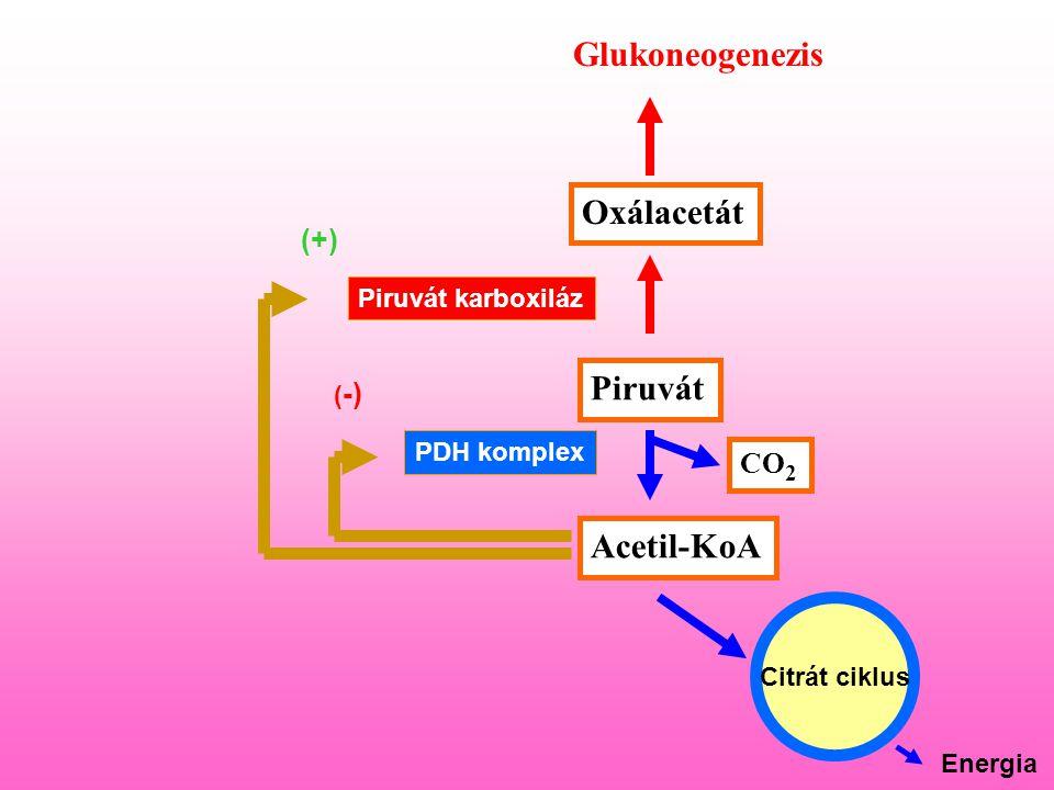 Glukoneogenezis Oxálacetát Piruvát Acetil-KoA (+) CO2
