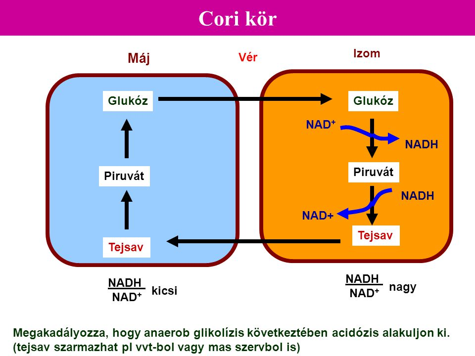 Cori kör Máj Izom Vér Glukóz Glukóz NAD+ NADH Piruvát Piruvát NADH
