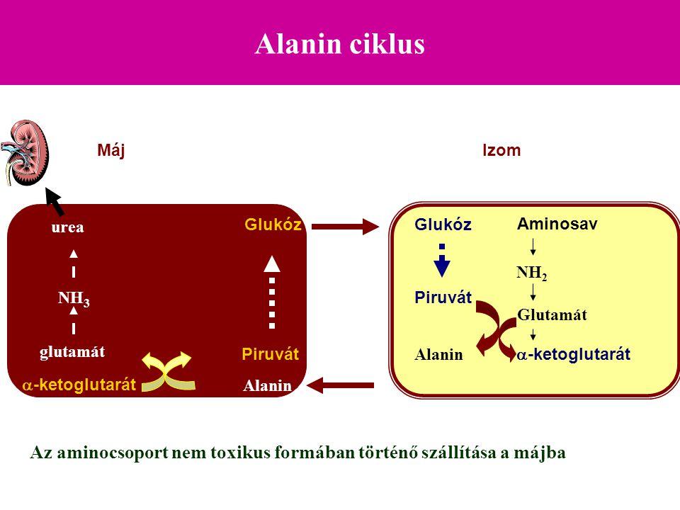 Alanin ciklus Máj. Izom. urea. Glukóz. Glukóz. Aminosav. NH2. NH3. Piruvát. Glutamát. glutamát.
