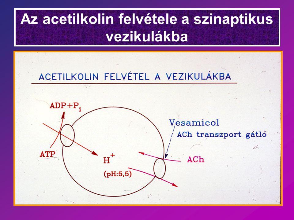 Az acetilkolin felvétele a szinaptikus vezikulákba