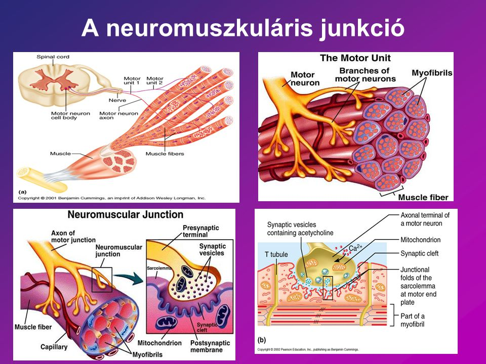 A neuromuszkuláris junkció