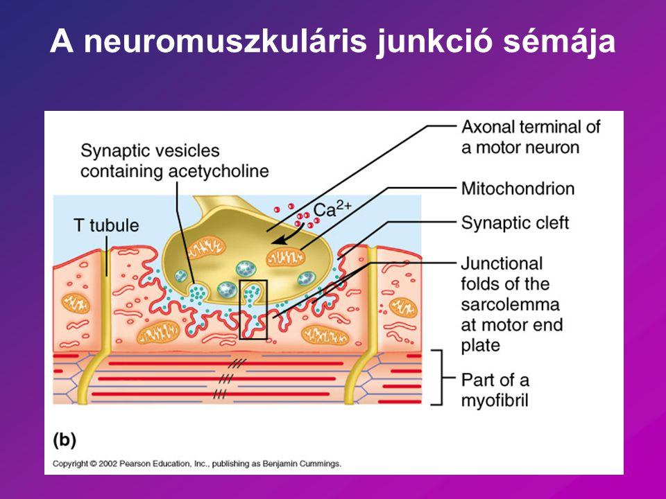 A neuromuszkuláris junkció sémája