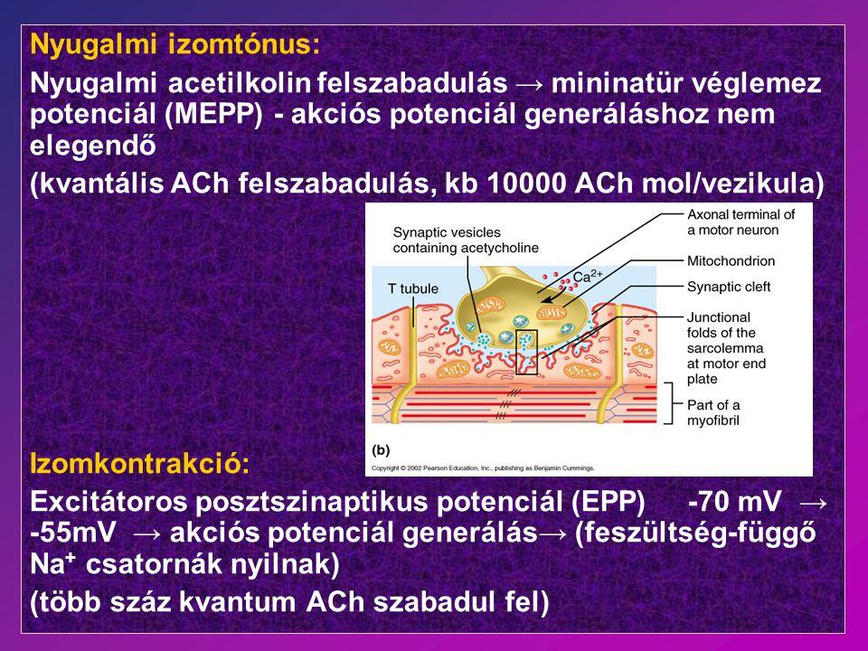 Nyugalmi izomtónus: Nyugalmi acetilkolin felszabadulás → mininatür véglemez potenciál (MEPP) - akciós potenciál generáláshoz nem elegendő.
