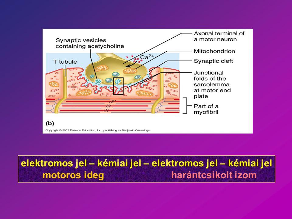 elektromos jel – kémiai jel – elektromos jel – kémiai jel