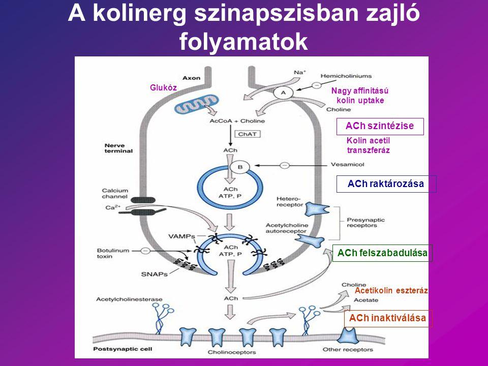 A kolinerg szinapszisban zajló folyamatok
