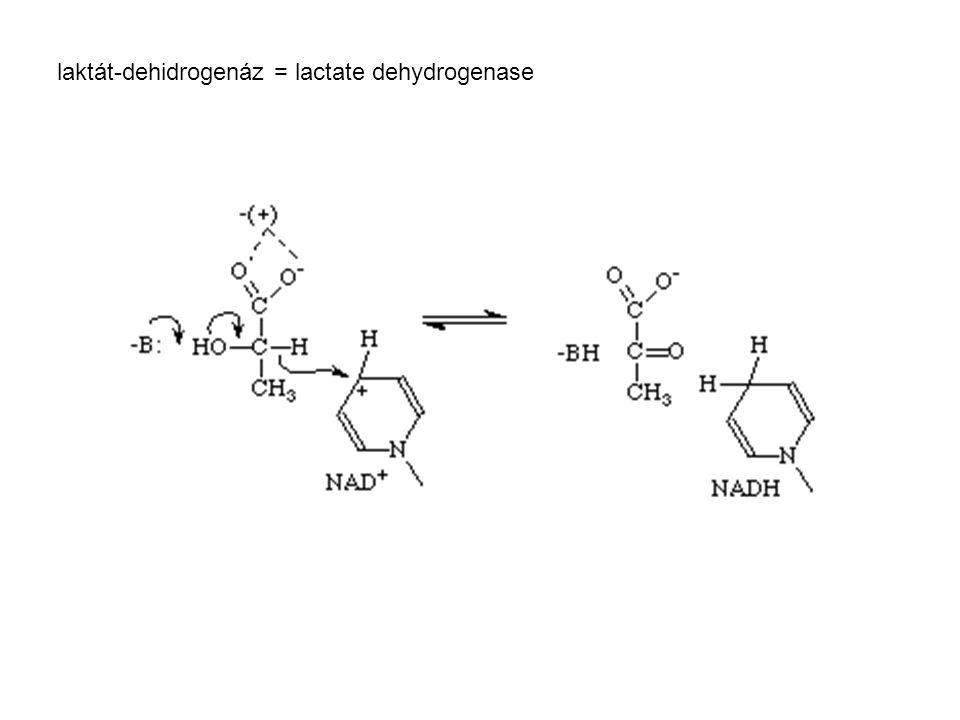 laktát-dehidrogenáz = lactate dehydrogenase