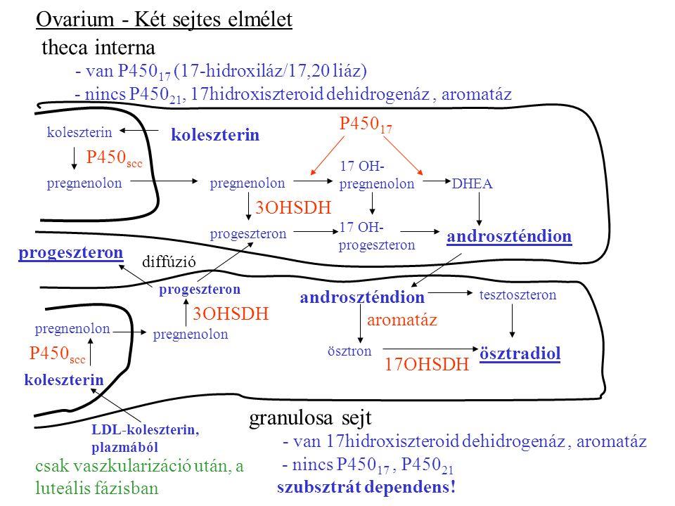 Ovarium - Két sejtes elmélet theca interna