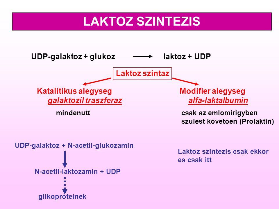 LAKTOZ SZINTEZIS UDP-galaktoz + glukoz laktoz + UDP Laktoz szintaz