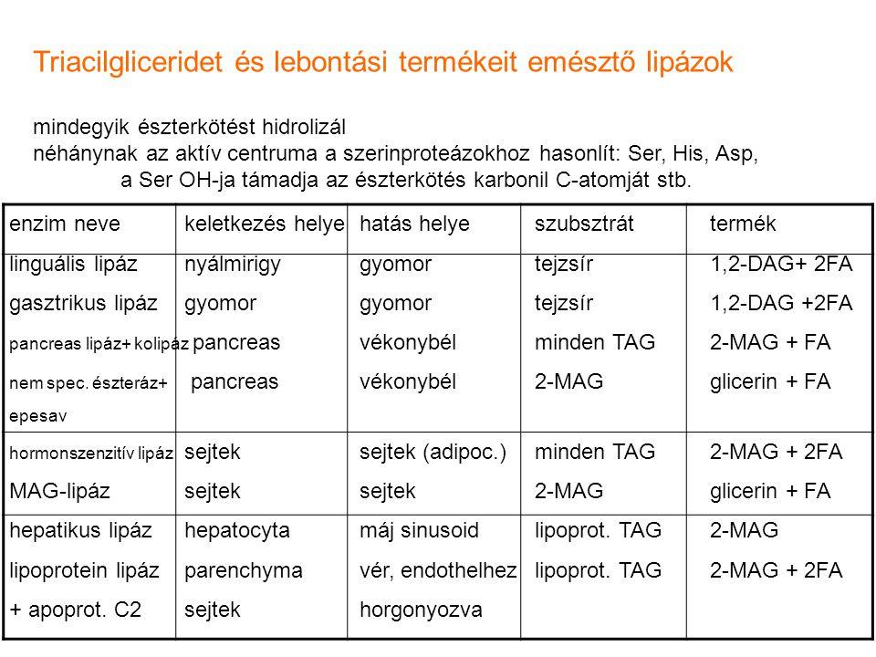 Triacilgliceridet és lebontási termékeit emésztő lipázok