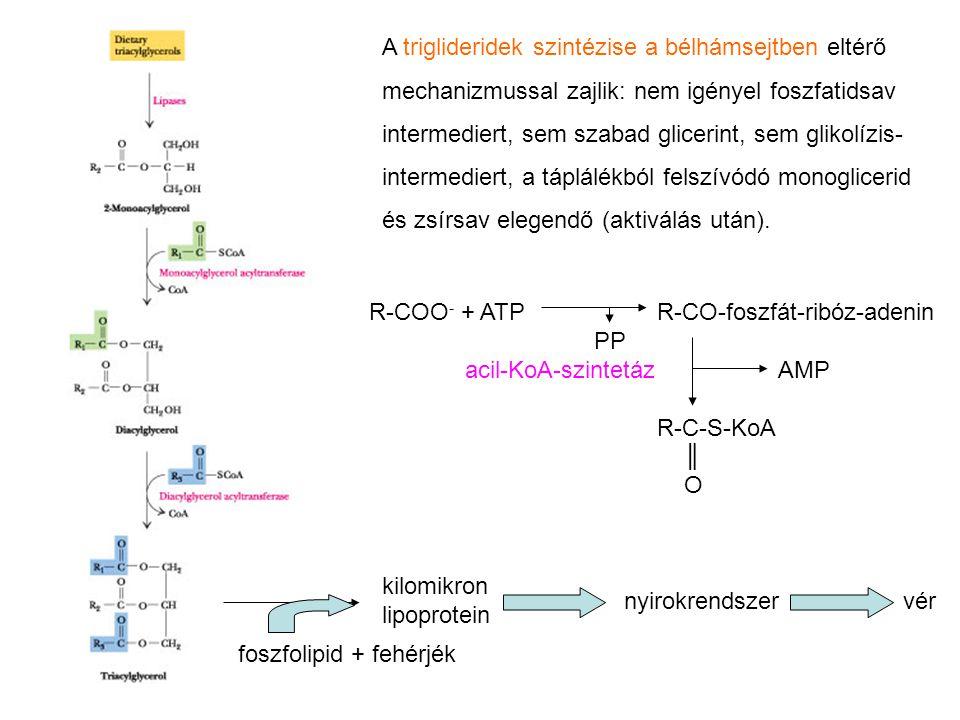 A triglideridek szintézise a bélhámsejtben eltérő