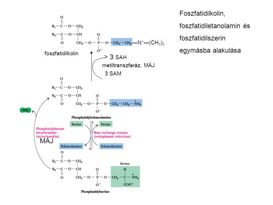 foszfatidiletanolamin és foszfatidilszerin egymásba alakulása