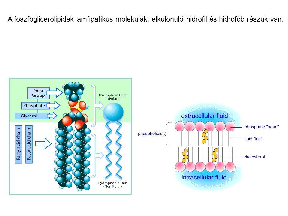 A foszfoglicerolipidek amfipatikus molekulák: elkülönülő hidrofil és hidrofób részük van.