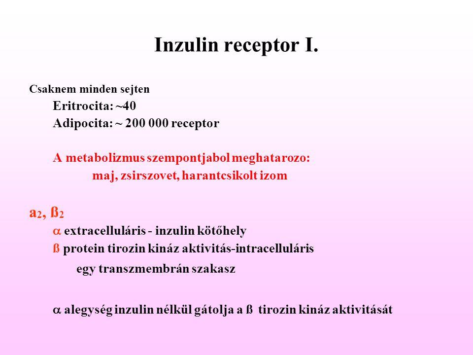 Inzulin receptor I. a2, ß2 Eritrocita: ~40