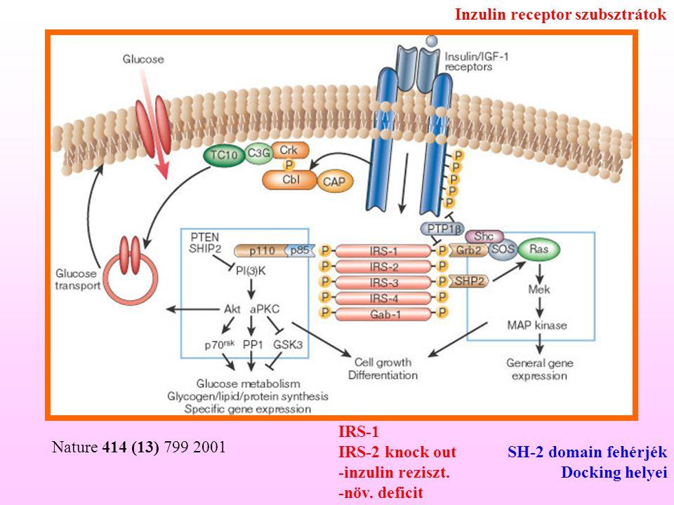 Inzulin receptor szubsztrátok
