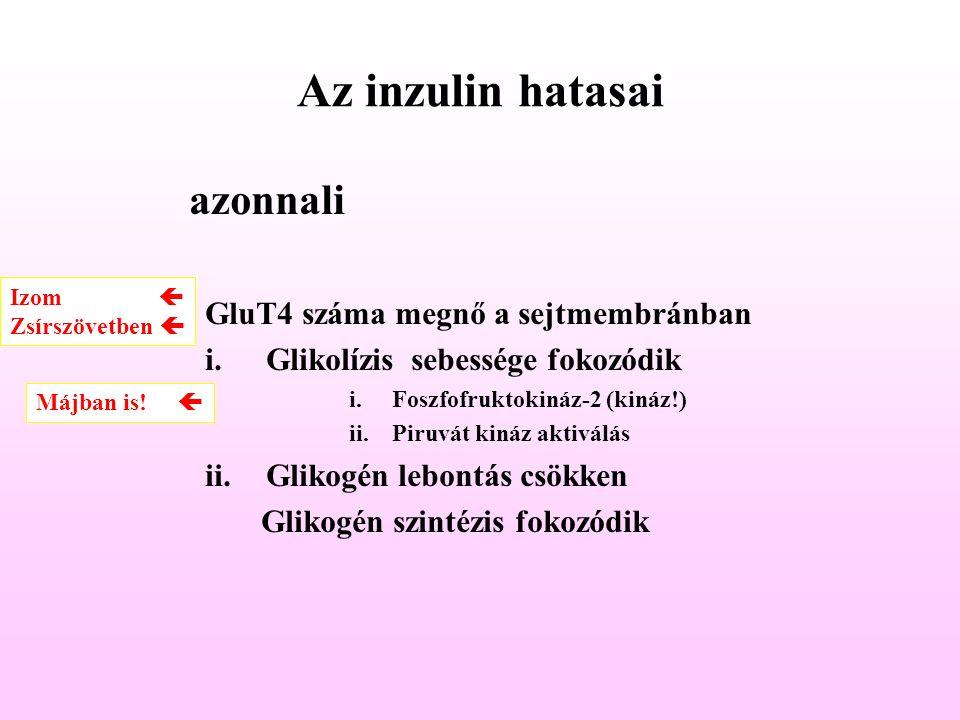 Az inzulin hatasai azonnali GluT4 száma megnő a sejtmembránban