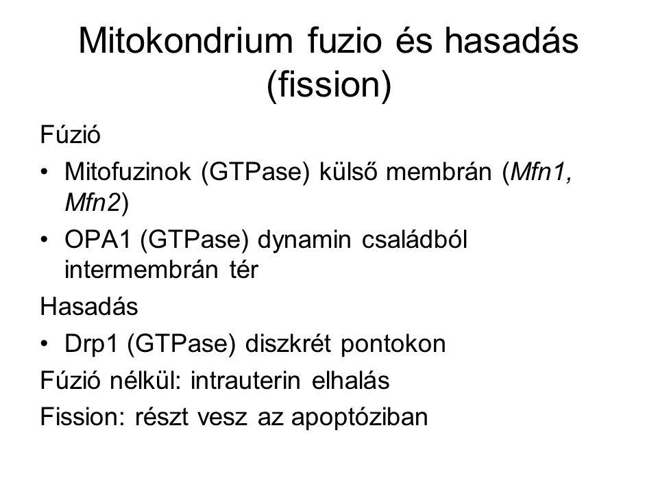 Mitokondrium fuzio és hasadás (fission)