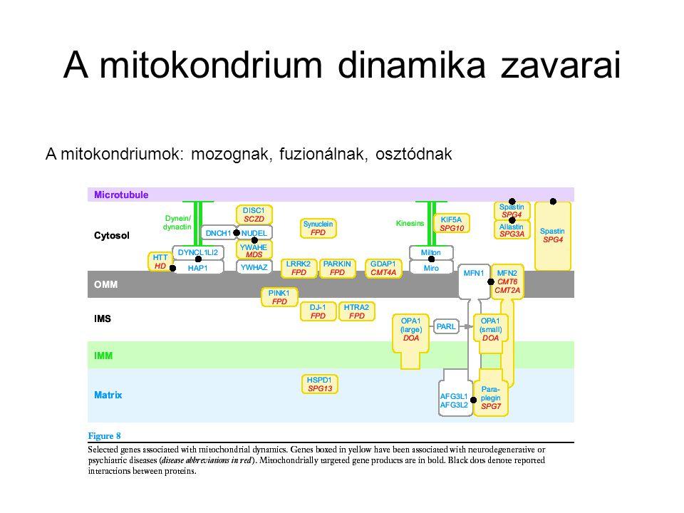 A mitokondrium dinamika zavarai