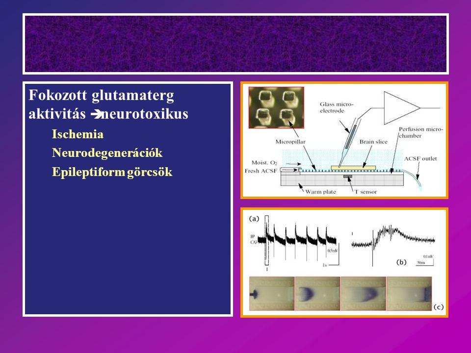 Fokozott glutamaterg aktivitás è neurotoxikus