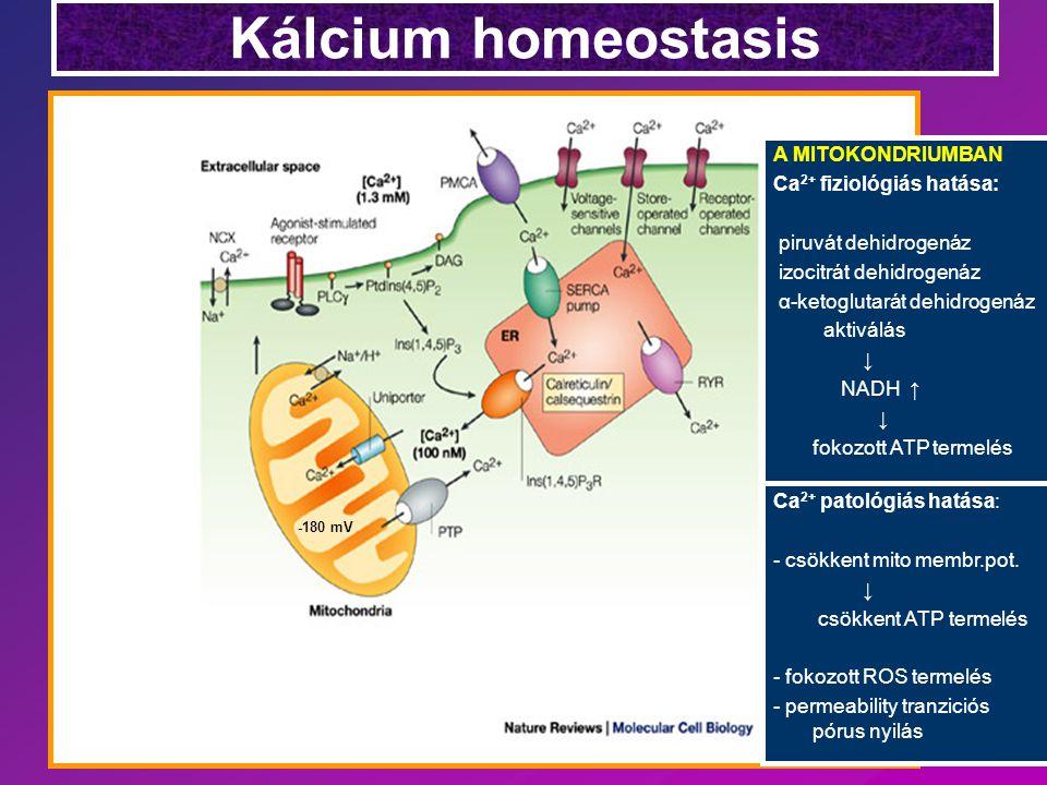 Kálcium homeostasis A MITOKONDRIUMBAN Ca2+ fiziológiás hatása:
